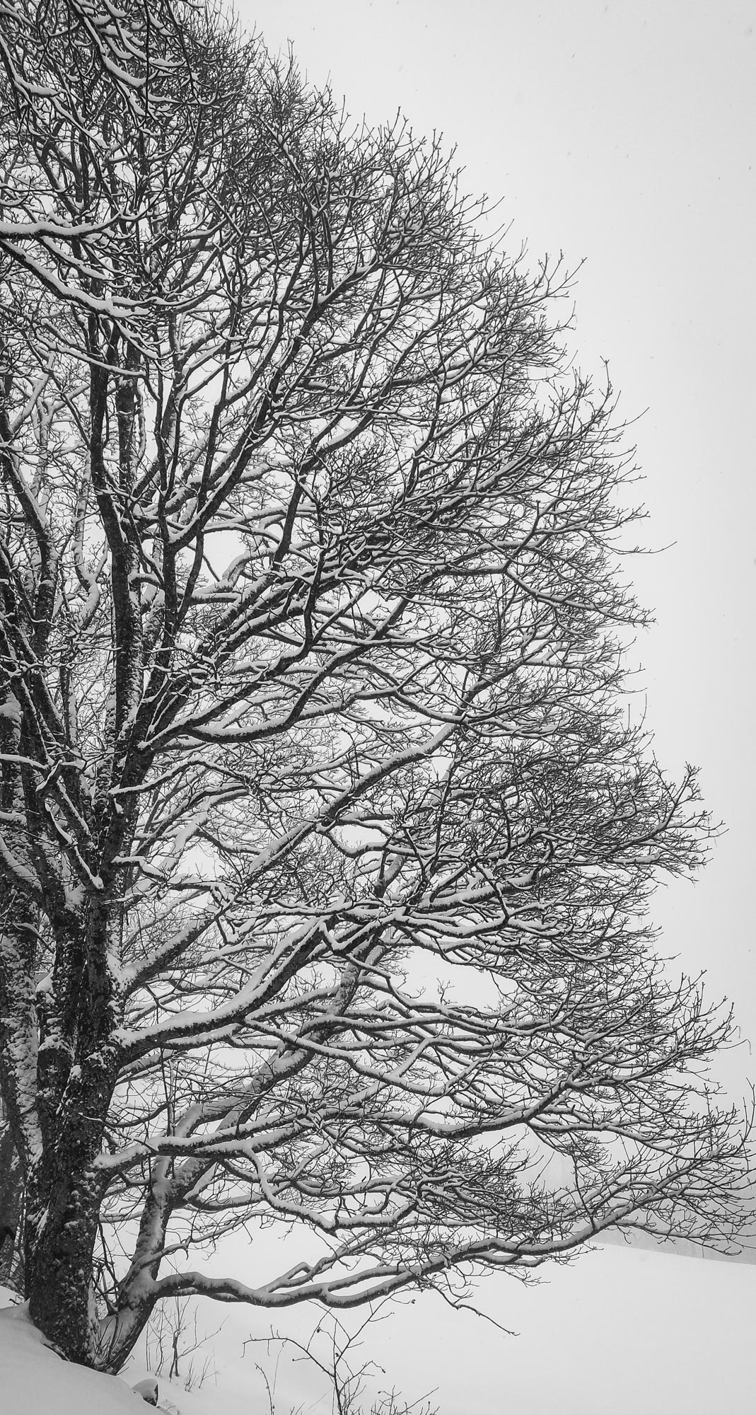 Beautiful snowy tree - Black and white photograph